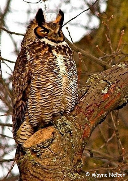 Great Horned Owl - Wayne Nelson