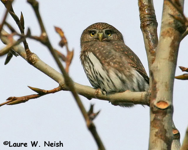 Northern Pygmy Owl - Laure W. Neish