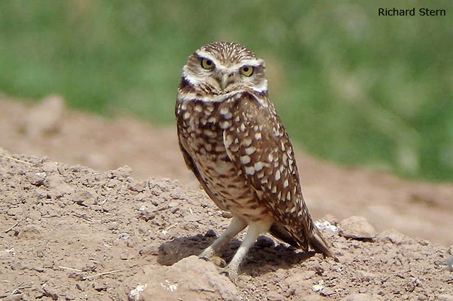 Burrowing Owl - Richard Stern