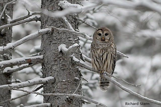 Barred Owl - Richard Stern