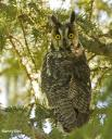 Long-eared Owl - Nancy Bell