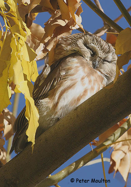 Northern Saw-whet Owl - Peter Moulton