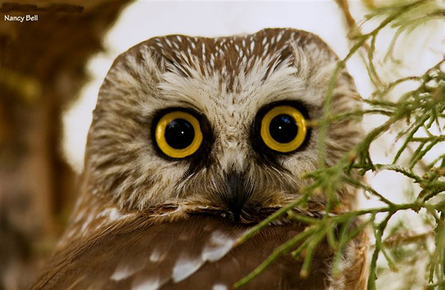 Northern Saw-whet Owl - Nancy Bell
