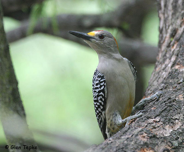 Golden-fronted Woodpecker - Glen Tepke