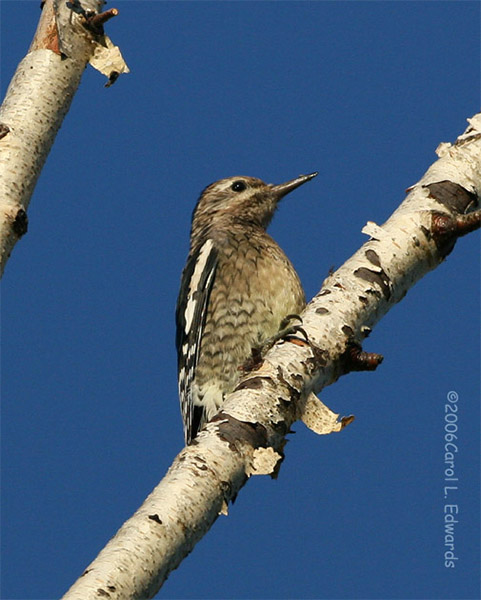 Yellow-bellied Sapsucker - Carol L. Edwards