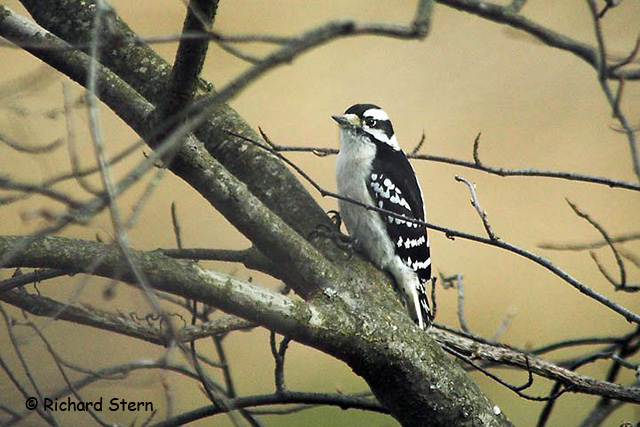 aka bird nerd woodpeckers downy woodpecker richard stern