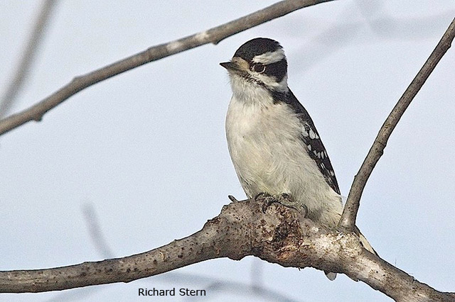 Downy Woodpecker - Richard Stern