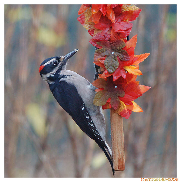 Hairy Woodpecker - Proffittshollow
