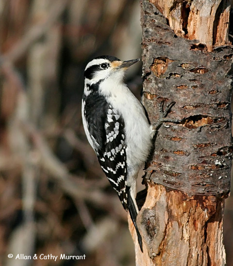 Hairy Woodpecker - Allan and Cathy Murrant