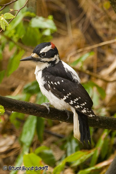Hairy Woodpecker - Bruce Enns