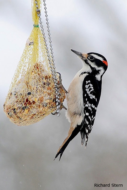 Hairy Woodpecker - Richard Stern