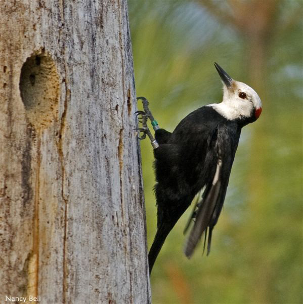 White-headed Woodpecker - Nancy Bell