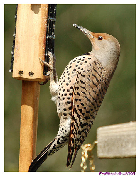 Northern Flicker - Proffittshollow