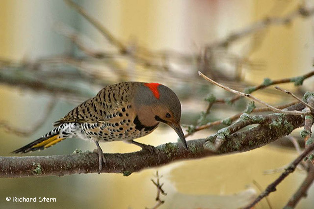 Northern Flicker - Richard Stern