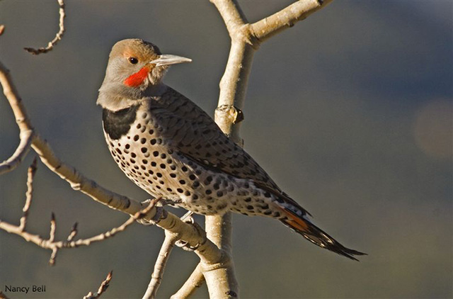 Northern Flicker - Nancy Bell