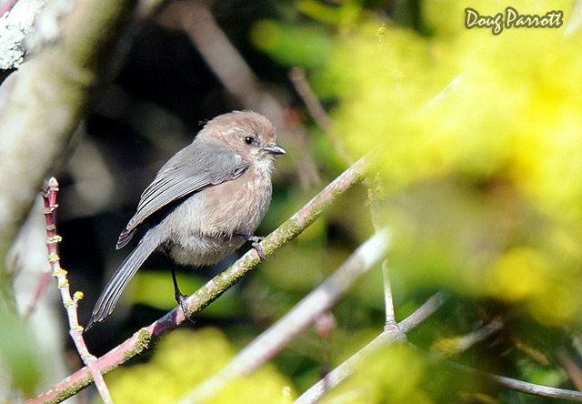 bushtit.jpg