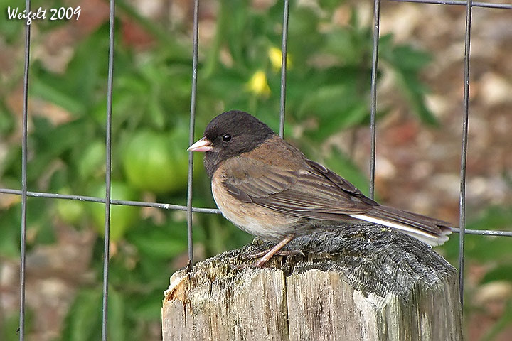 darkeyedjunco09b