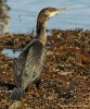 Great Cormorant - Allan and Cathy Murrant