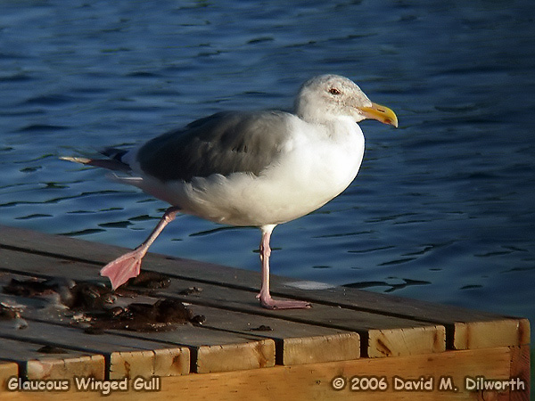 005 Glaucous-winged Gull