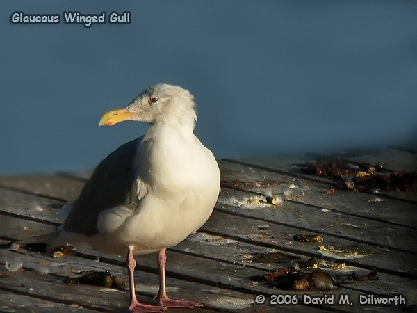006 Glaucous-winged Gull