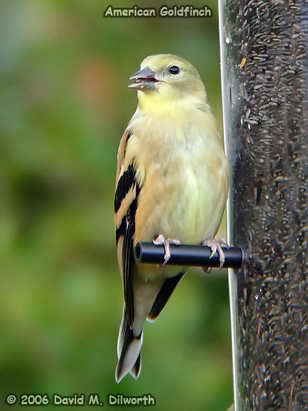 v007 American Goldfinch