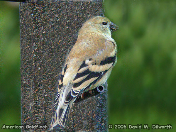 008 American Goldfinch