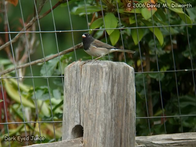 009 Dark-eyed Junco