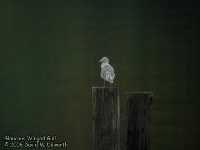 012 Glaucous-winged Gull