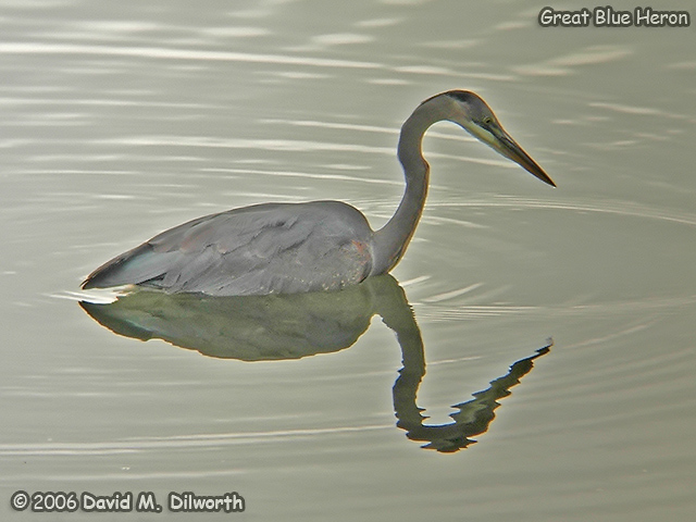 016 Great Blue Heron