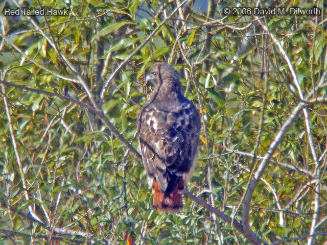 024 Red-tailed Hawk