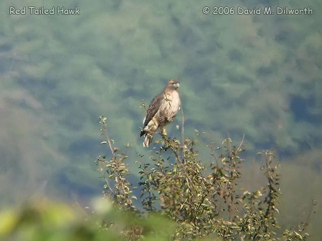 024m Red-tailed Hawk
