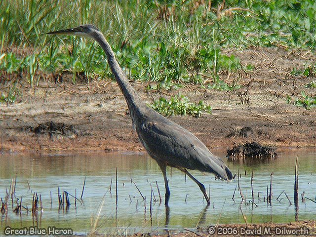 030 Great Blue Heron