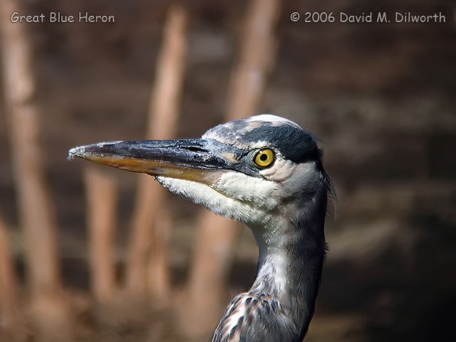 031m Great Blue Heron