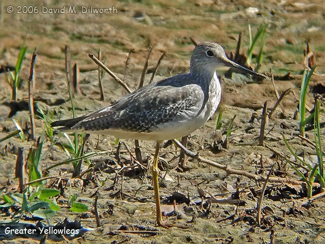 034 Greater Yellowlegs