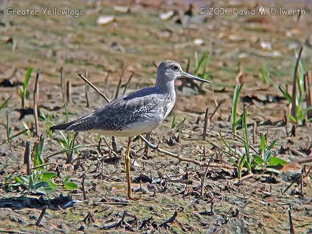 034m Greater Yellowlegs