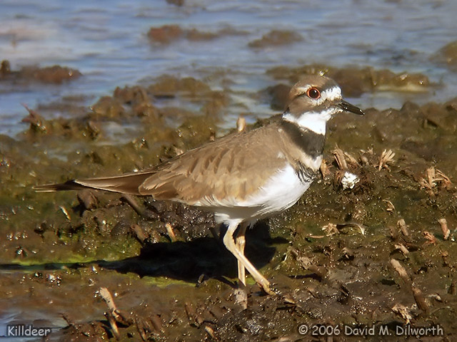 035 Killdeer