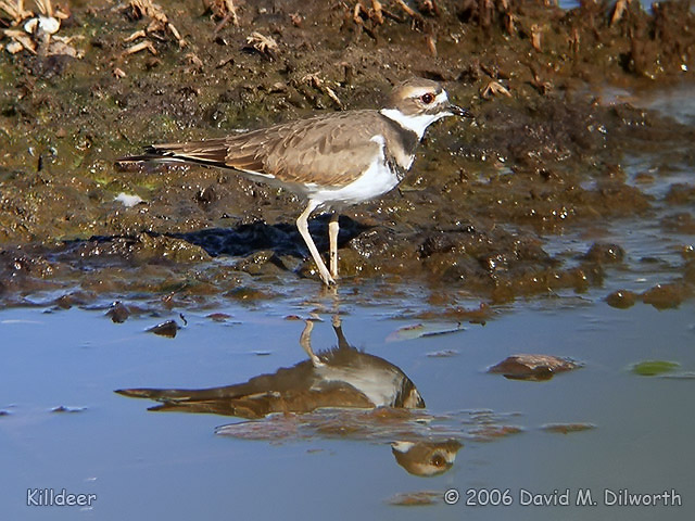 035m Killdeer