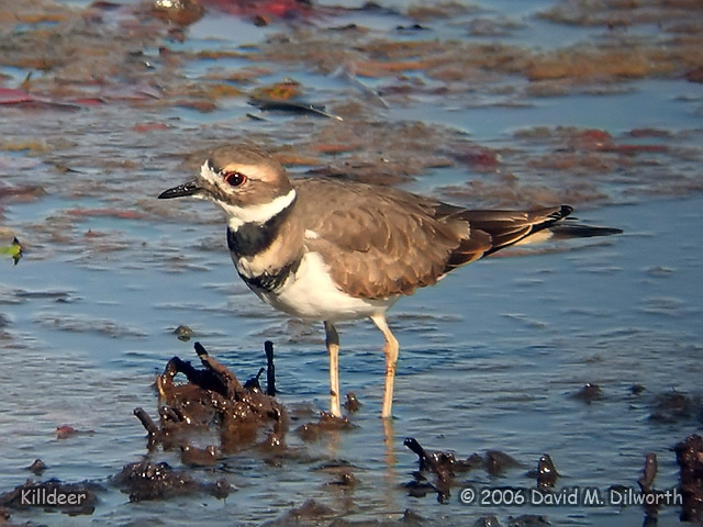 036 Killdeer