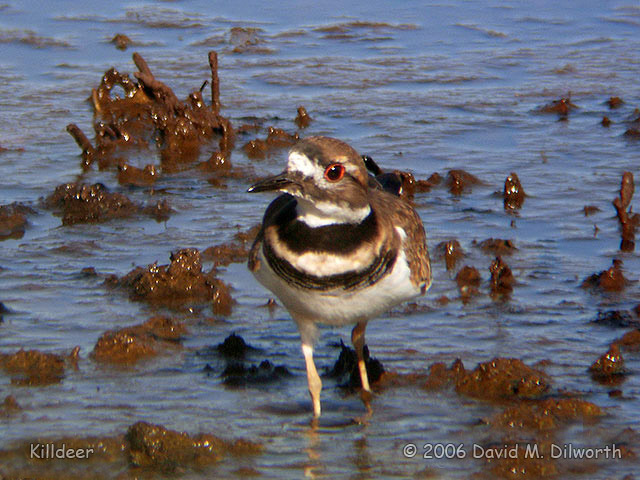037 Killdeer