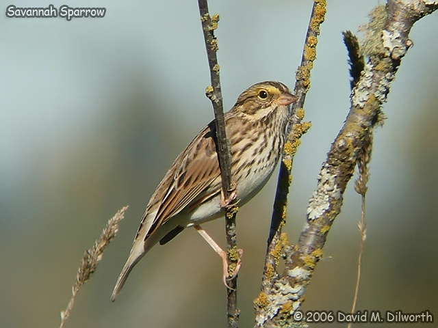 038 Savannah Sparrow