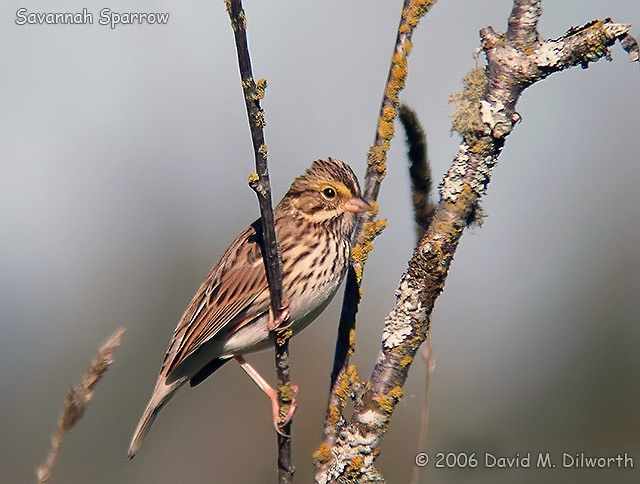 038m Savannah Sparrow