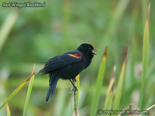 041 Red-winged Blackbird
