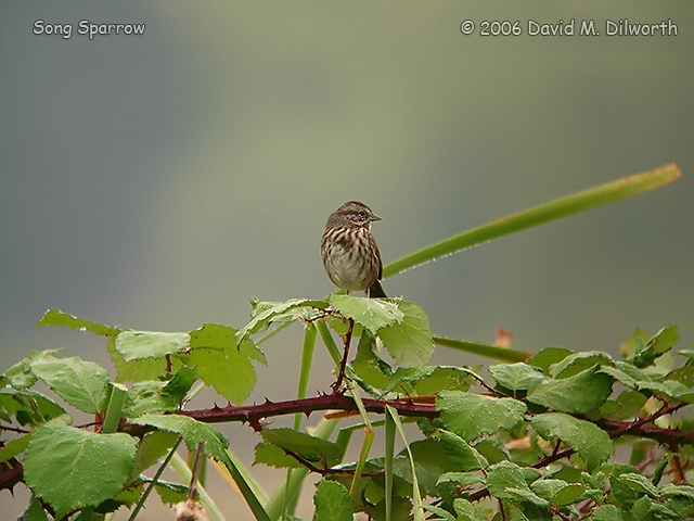 042m Song Sparrow