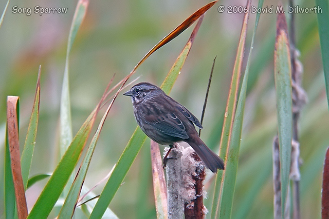 043m Song Sparrow