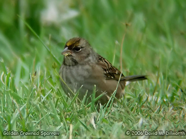 045 Golden-crowned Sparrow