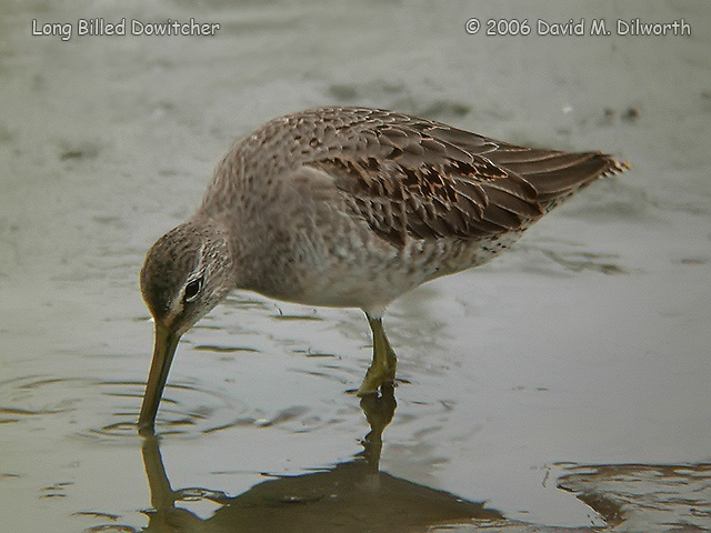 046m Long-billed Dowitcher