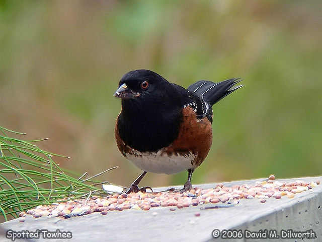 049 Spotted Towhee