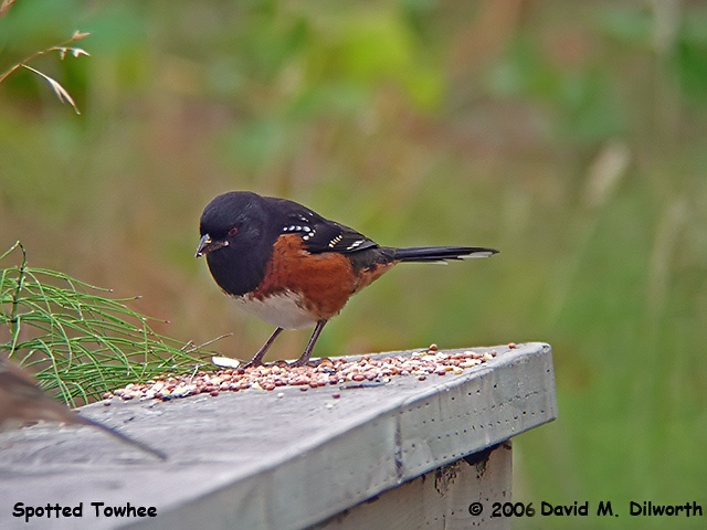 049m Spotted Towhee