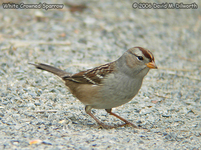 050 White-crowned Sparrow
