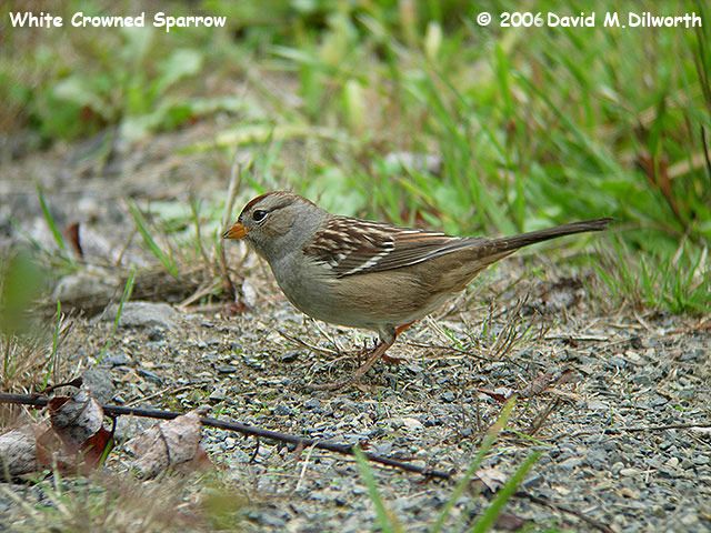 050m White-crowned Sparrow